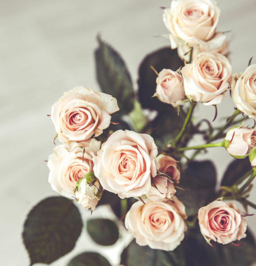 Doftfria rosor brulkar inet orsaka allergiska besvär