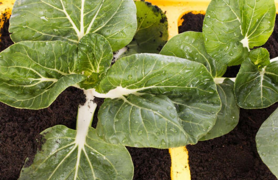 Återodla grönsaker. Bok Choy får bra att återplantera i jord hemma.