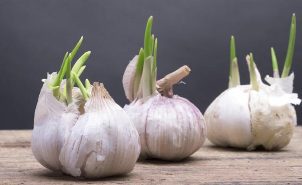 Återodla grönsaker. Vitlök går fint att återplantera i vatten.