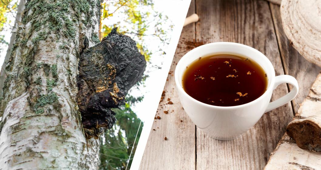 Chaga på björk och som te.