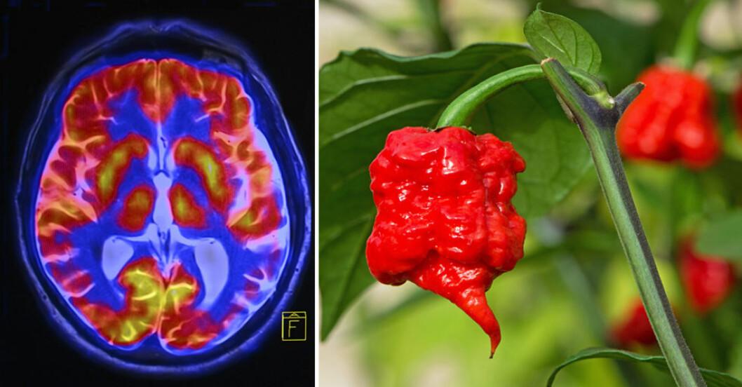 Carolina Reaper har fått titeln Världens starkaste chili.