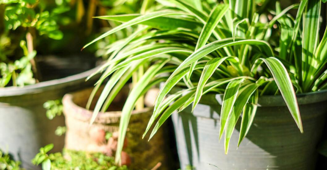 Växter som renar luften.
