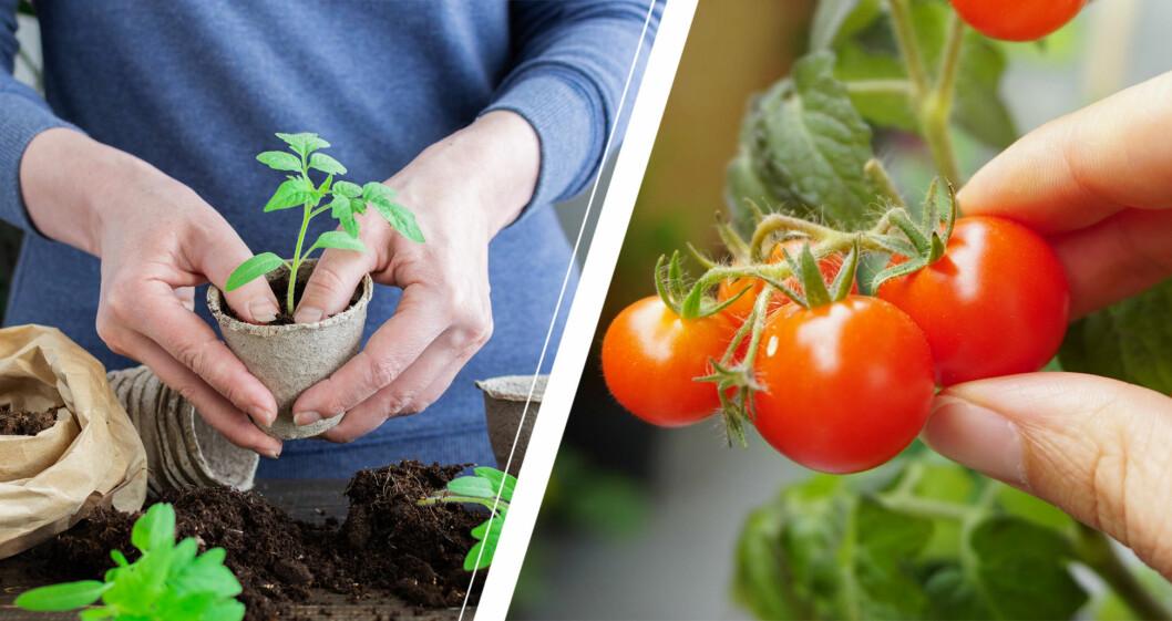 kvinnohänder med tomatplanta och mogna körsbärstomater.