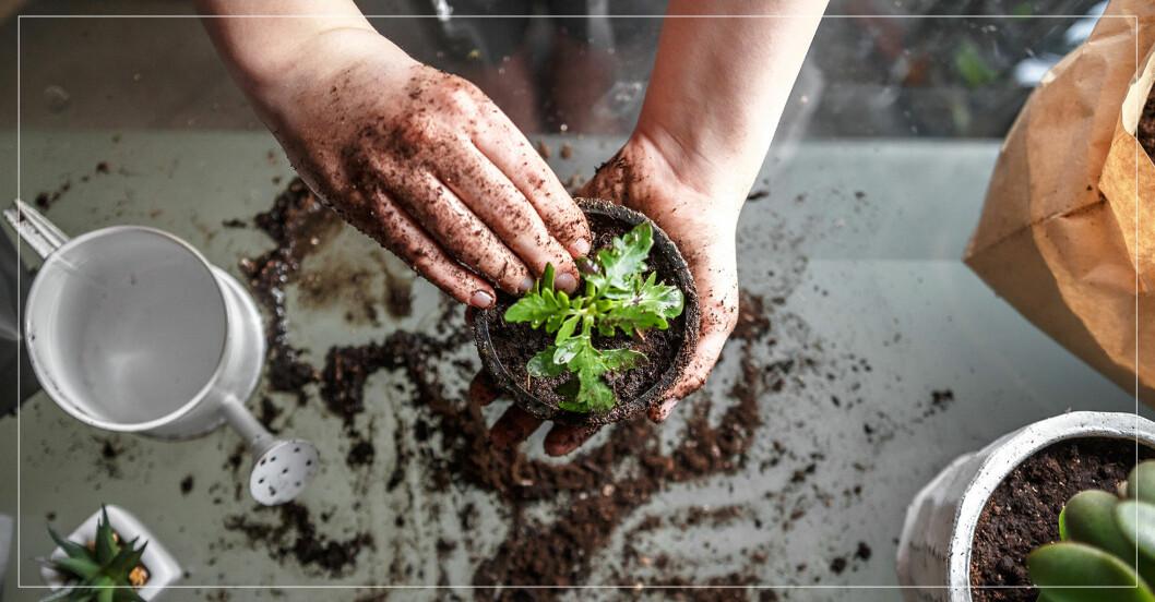 Händer som planterar en växt i en kruka.