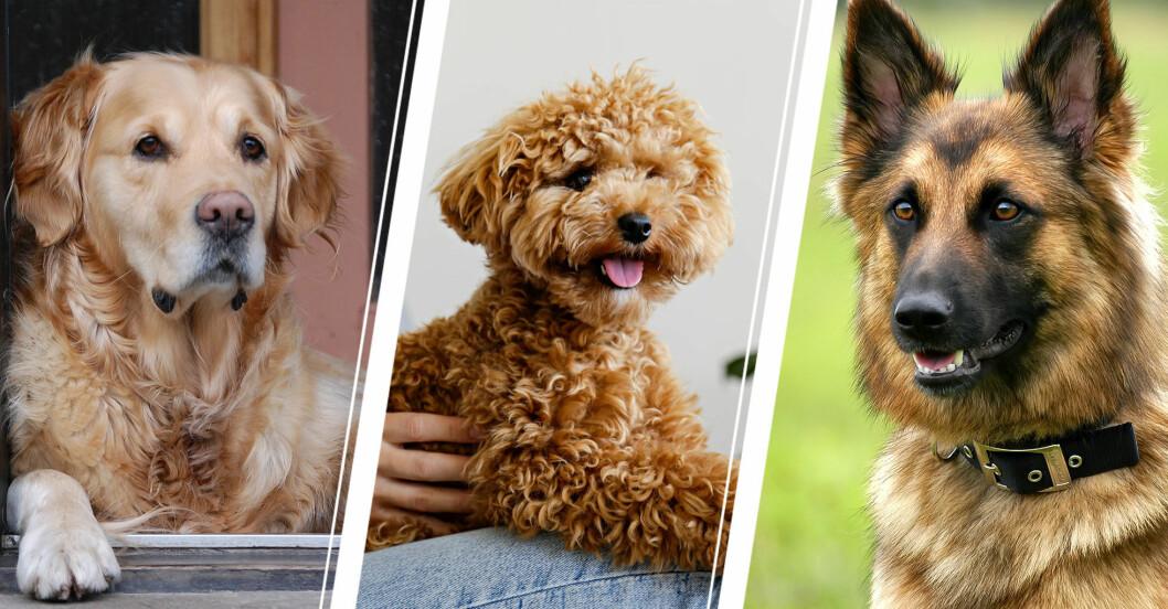 Quiz: hundrasen som passar dig bäst