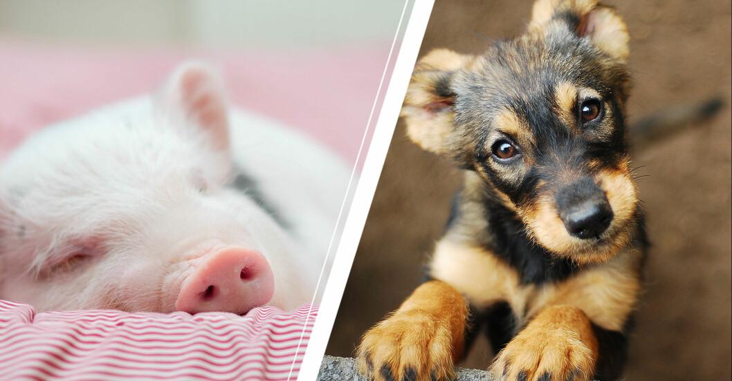 gris och hund