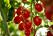 Förvarar inte tomater i kylskåp